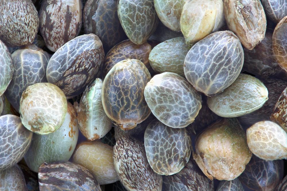 3 Main Types Of Marijuana Seeds