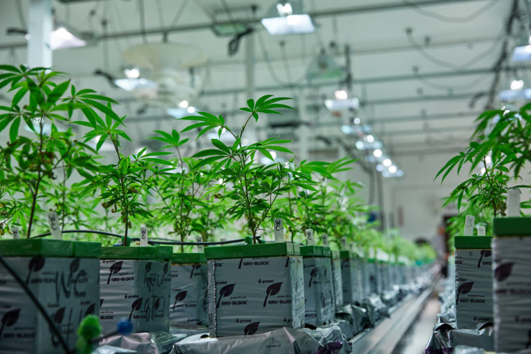 Growing cannabis indoors: the hydroponics edition